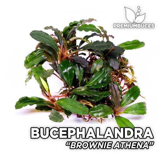 Bucephalandra Brownie Athena planta de acuario