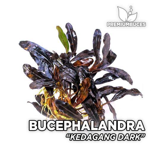 Bucephalandra Kedagang Dark planta de acuario