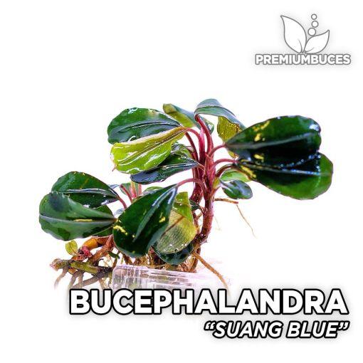 Bucephalandra Suang Blue planta de acuario