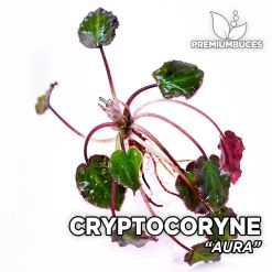 Cryptocoryne Aura planta de acuario