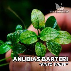 """Anubias """"Pinto White"""" planta de acuario"""