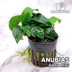 Anubias Nana Mini planta de acuario