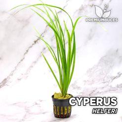 Cyperus Helferi Planta de acuario