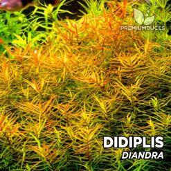 Didiplis Diandra Planta de acuario