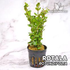Rotala Rotundifolia Planta de acuario