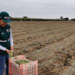 MINAGRI ejecutará plan de capacitación para productores de espárrago del valle Chicama