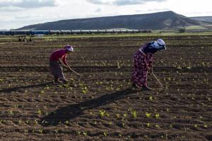 Sekerpancarı çapası Kayseri (c)Servet Dilber/Hayata Destek Dernegi 2014