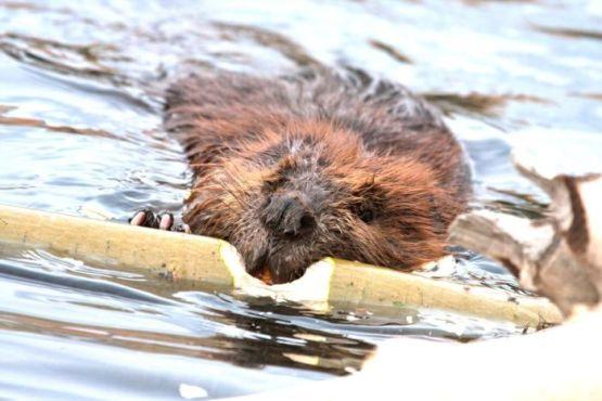 Wild beavers at Horseshoe Lake Denali national park Alaska North America
