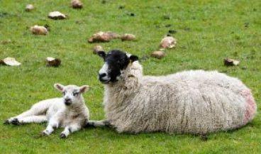 sheep-1353251_640