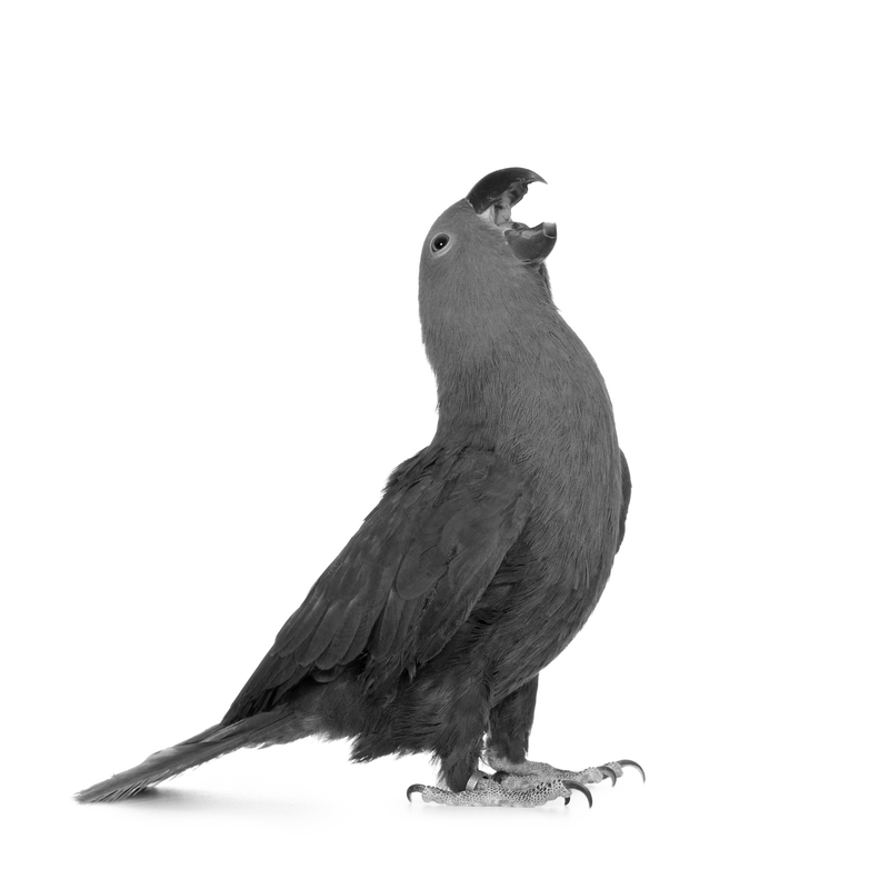 Ulysses S. Grant's Parrot