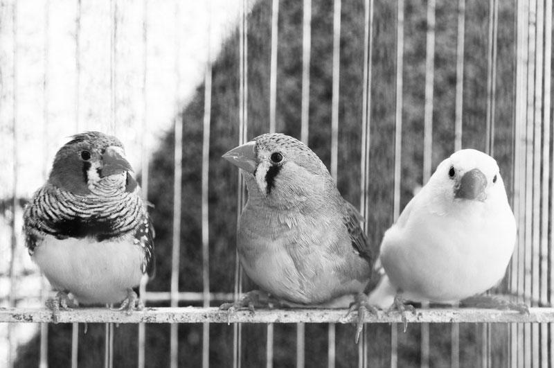 Grover Cleveland's Birds