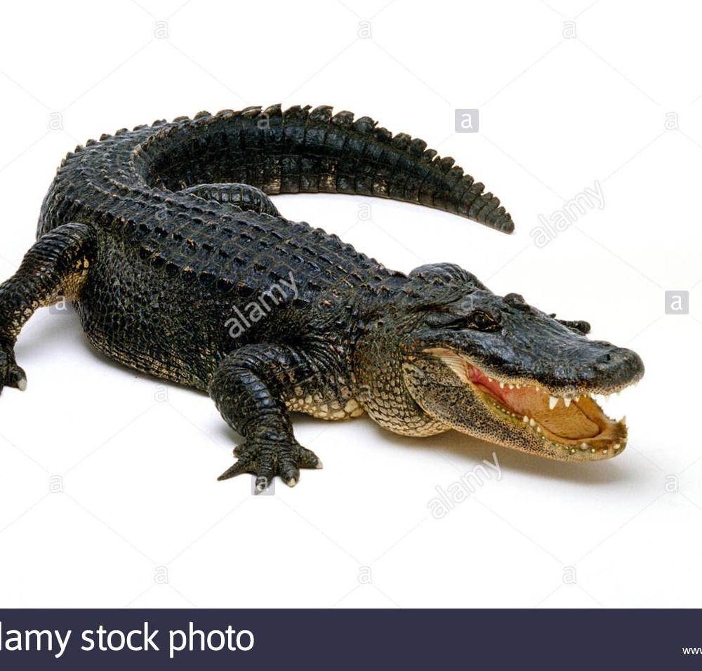 Bitten by an Alligator