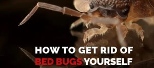 get-rid-of-Bed-Bugs-Bedbugs Presidio Pest Management