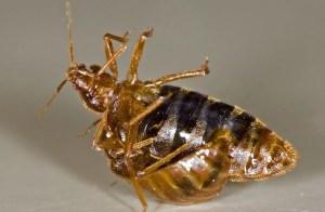 bed bug reproduction Bedbugs Presidio Pest Management