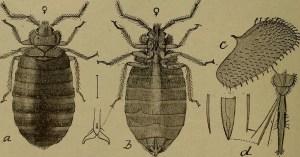 bedbugs4