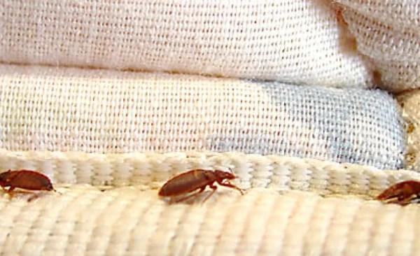 boric acid bedbugs