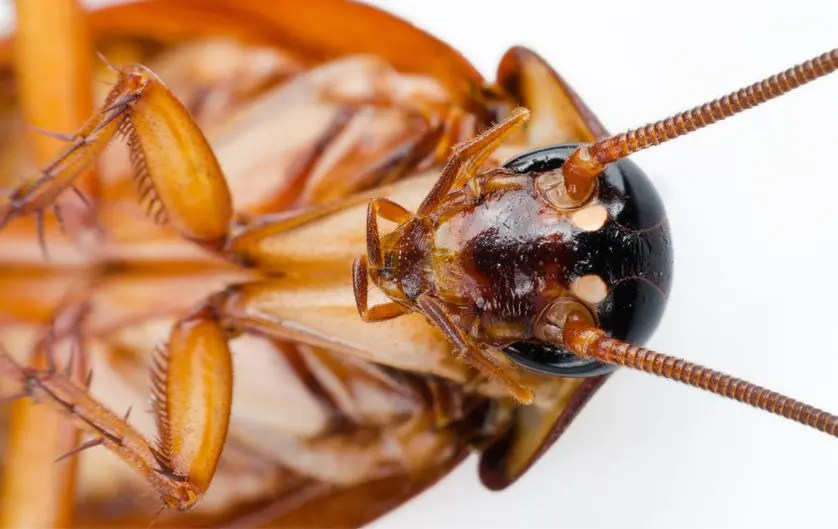 Cockroach misconceptions