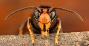 hornet extermination Presidio Pest Management