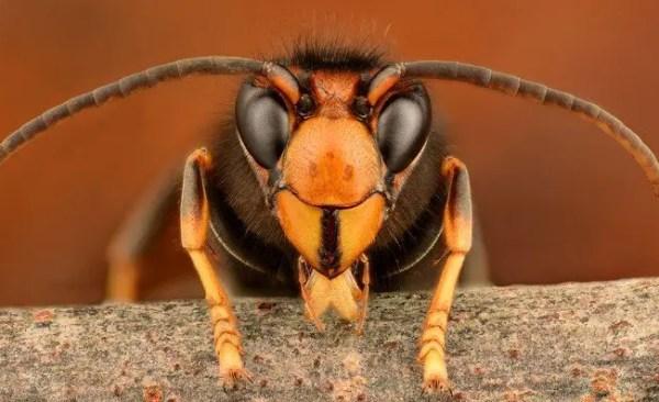 hornet extermination