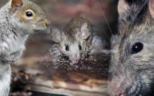 Identifying Your Rodent Problem