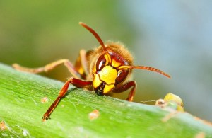 Presidio Pest Management wasps and hornets