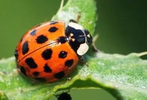 asian-lady-beetle Presidio Pest Management