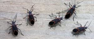 boxelder-bug Presidio Pest Management