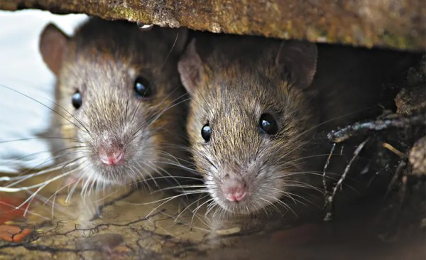 rodents-mice-rats- Presidio Pest Management