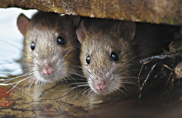 rodents-mice-rats