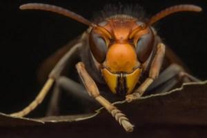 Murder Hornets - Presidio Pest Management