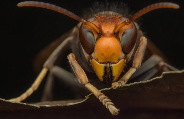 Murder Hornets - Presidio Pest Management