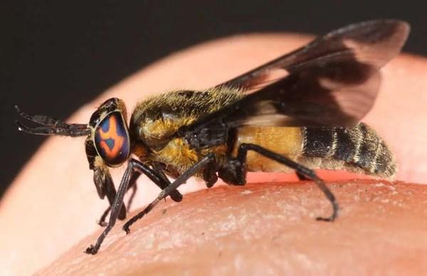 Deer Flies - Presidio Pest Management