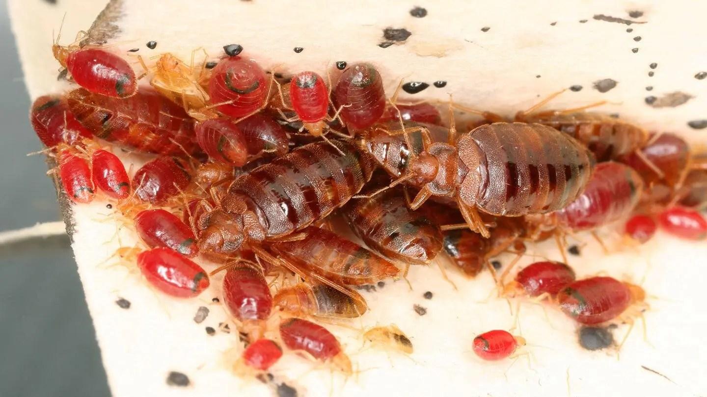 bed bugs presidio
