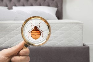 bed bugs scaled