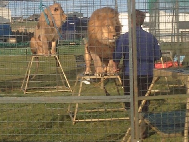 The Lions at the farm