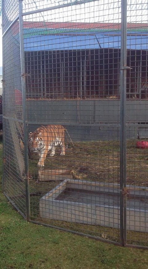 One of the three tigers staying at the farm over the winter