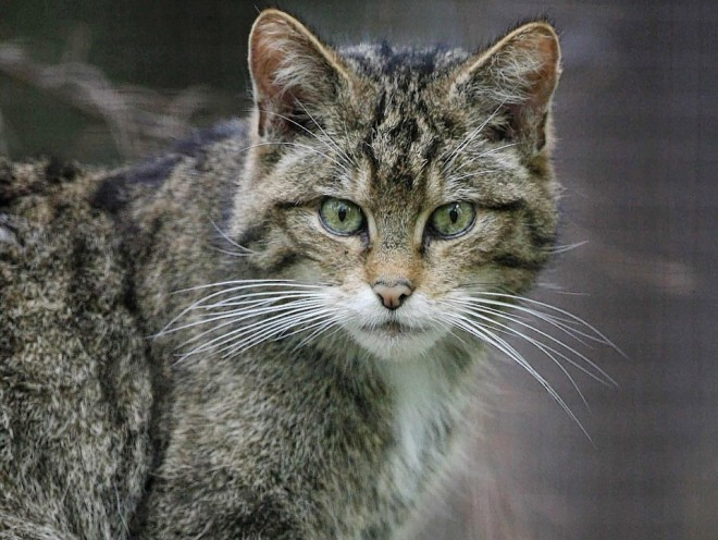 Six areas of north and north-east have been identified for priority action to help save Scottish wildcats.