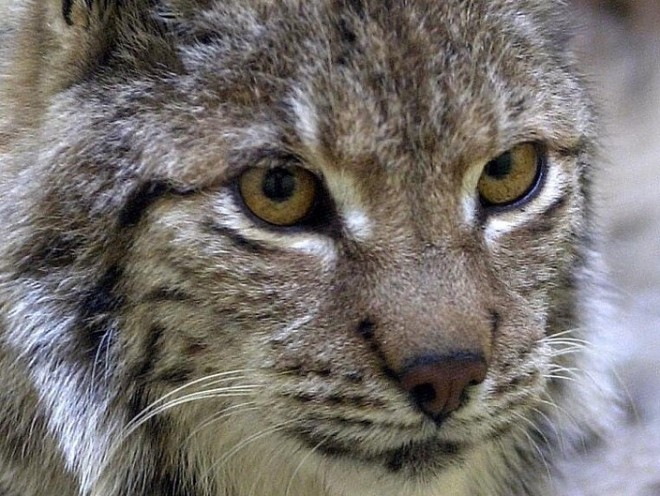 The owner of the Grumack Forest, at Succoth, near Huntly, has offered his land for a reintroduction scheme for wild lynx - Europe's third largest predator