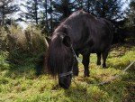 Inky the Shetland Pony