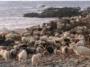 The rare North Ronaldsay sheep