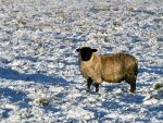The sheep in the north-east seemed to enjoy the snow yesterday