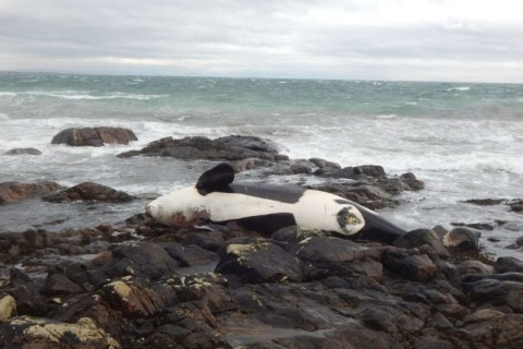 "The body of the female orca, named Lulu, that has been washed ashore on Tiree, in the Inner Hebrides on January 03 2016. See Centre Press story CPORCA; A killer whale thought to belong to the UK's only native orca pod has been found dead on a beach, sparking fears for the survival of the species. The body of the female animal, named Lulu, was washed ashore on Tiree, in the Inner Hebrides, on January 3. It is not clear whether the 6.2-metre orca stranded before or after she died, but local scientists are working to solve the mystery. The Hebridean Whale and Dolphin Trust fear the conservation status of the pod is at grave risk. A post of their Facebook page said: ""We have some sad news to report: one of the West Coast Community of killer whalesknown as 'Lulu' was found dead."
