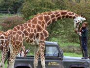 Giraffes at Port Lympne