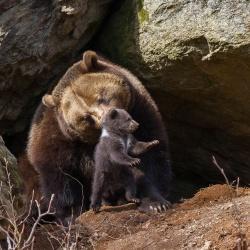 Vermutlich hat nur ein Jungbär von ursprünglich drei im Tier-Freigelände des Nationalparks Bayerischer Wald überlebt – hier zu sehen mit seiner Mutter Luna