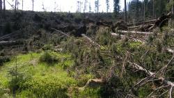 Kyrill-Fläche wenige Wochen nach dem Orkan: Hat Naturverjüngung in diesem Chaos eine Chance, zu einer vitalen Waldentwicklung beizutragen? Diese und viele andere Fragen sind Gegenstand der Windwurf-Sonderführung am kommenden Samstag. (Foto: NPV Bayerischer Wald)