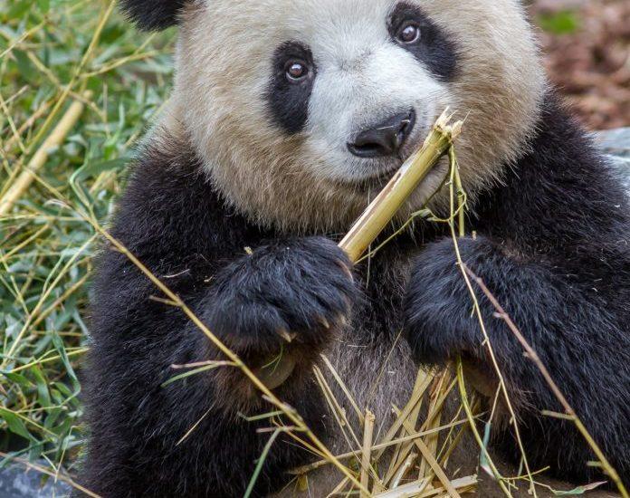 Meng Mengs, Marotten,Berlin,#Pandas