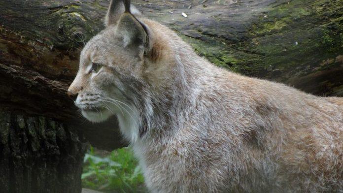 Raubkatzen,Tiere,News,Luchse, Centre Athénas