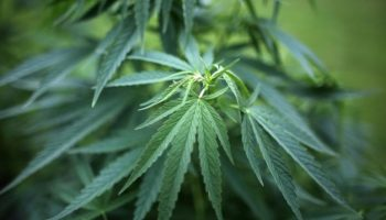 Cannabis,Droge,News,BDK, André Schulz,Bund Deutscher Kriminalbeamter