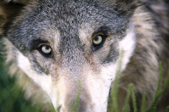Naturschutz Tiere, Bundesrat, Verbände, Tierhaltung, Agrar, Artenschutz, Wolf, Politik, Umwelt,Berlin