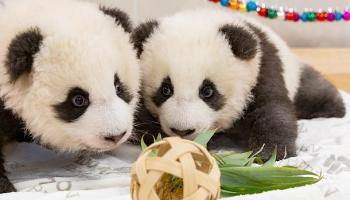 Panda,Zoo Berlin,Meng Xiang,MengYuan,News,Medien,Aktuelle